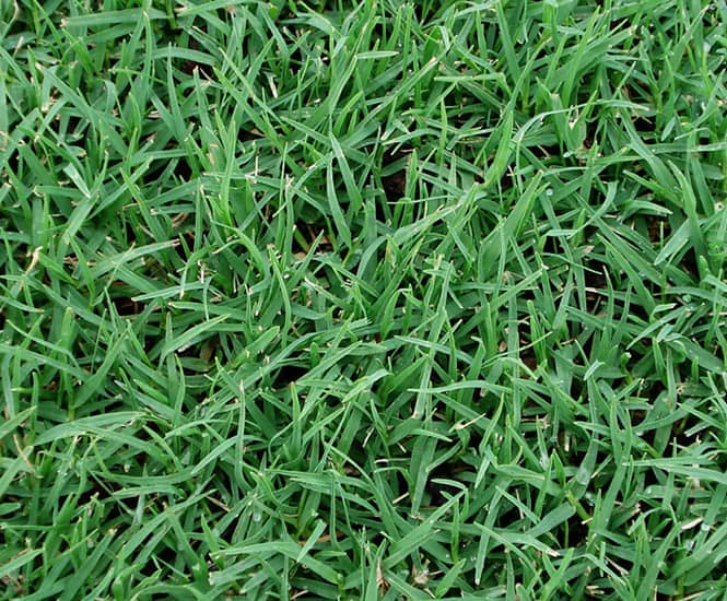 KIKUYU TURF SUPPLIER