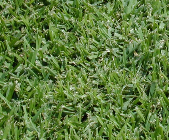 Palmetto Buffalo turf