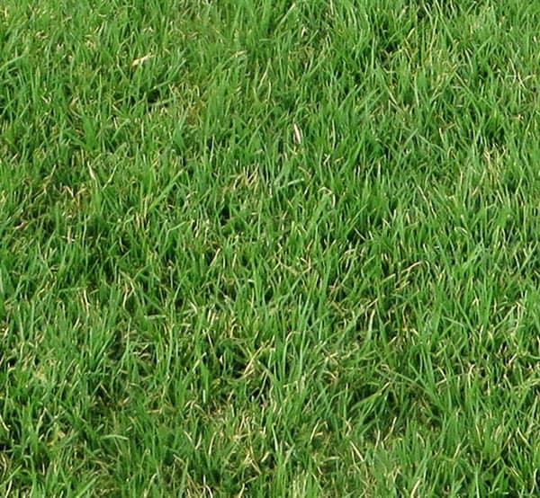 kikuyu turf - kikuyu grass lawn